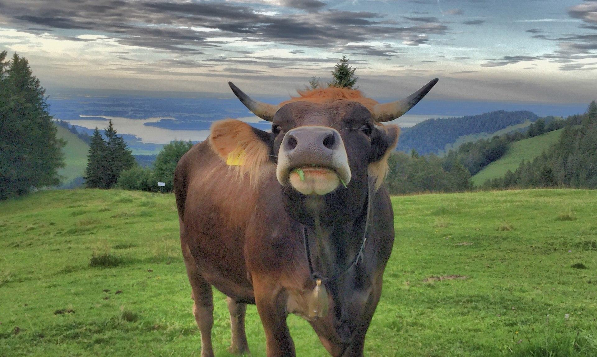 Kuh auf der Kampenwand, © Herbert Reiter