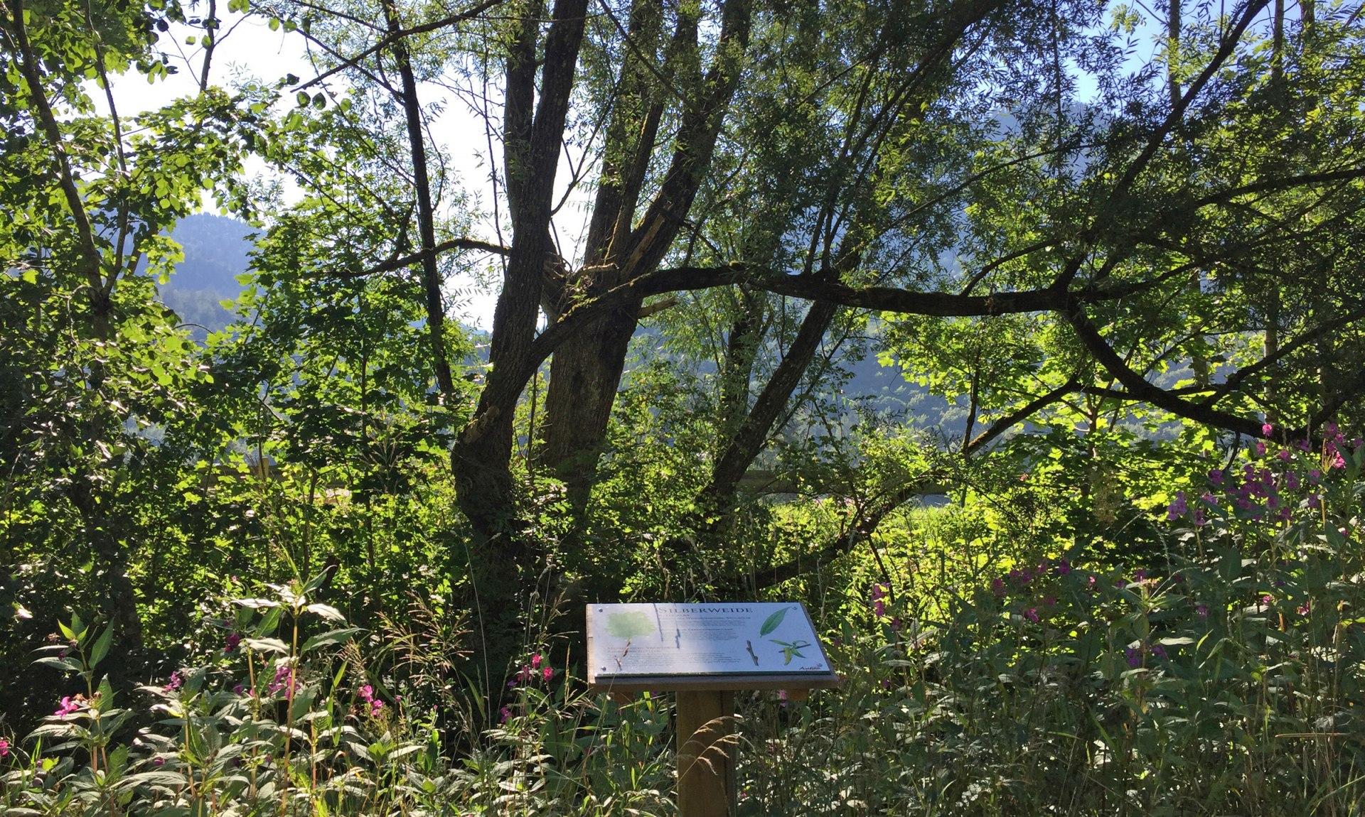 WaldApotheke Sachrang - Silberweide, © Tourist Info Aschau im Chiemgau