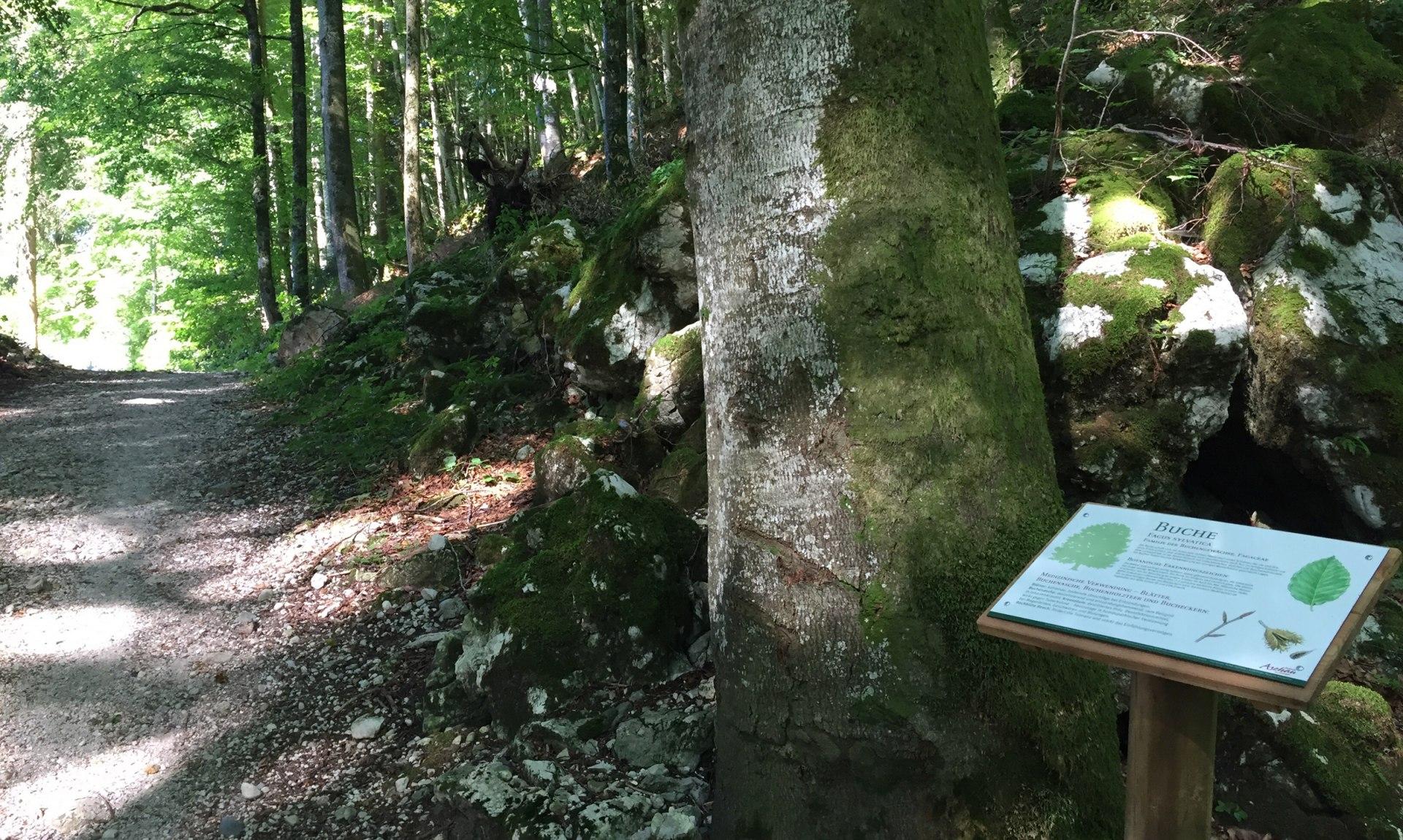 WaldApotheke Sachrang - Buchenwald, © Tourist Info Aschau im Chiemgau