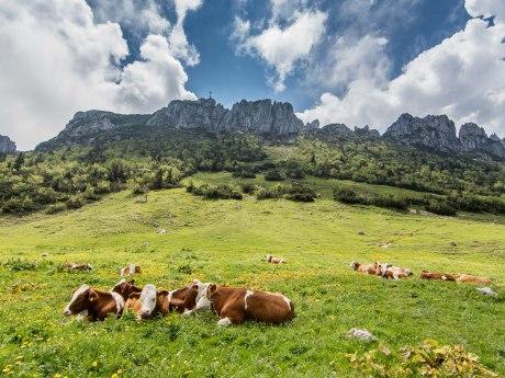 Kampenwand Massiv mit Kühen - Bergluft schnuppern, © Klaus Haase