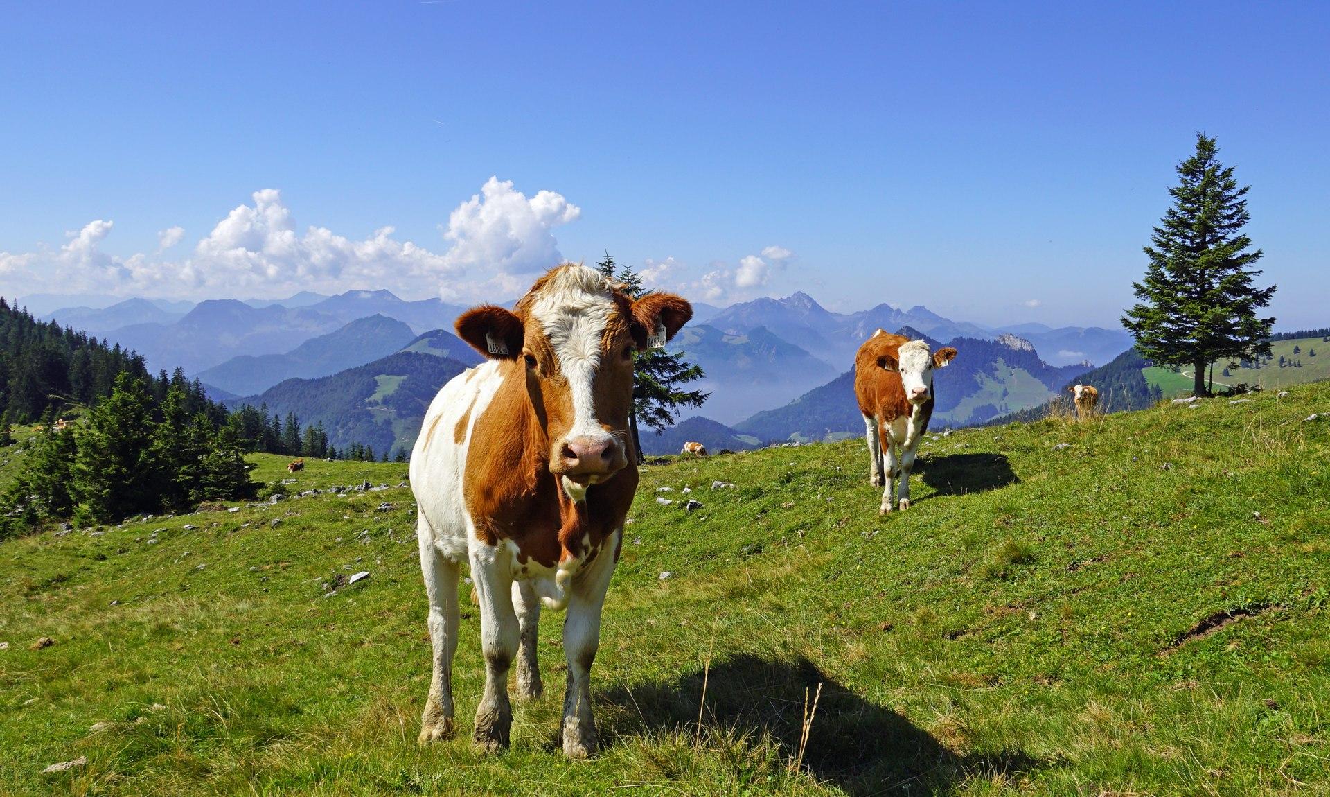 Kühe auf dem Berg, © Moll Jochen