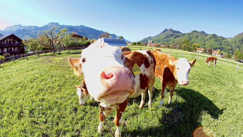 Neugierige Kuh auf der Weide im Ort, © Claus Schuhmann