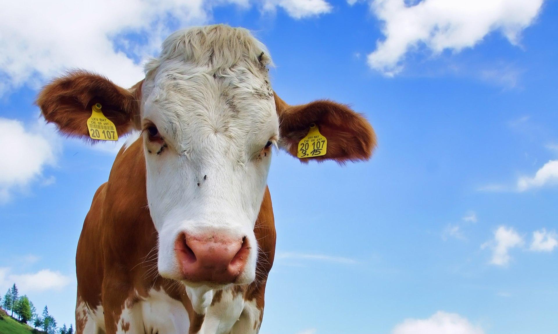 Kuh auf der Alm, © Claus Schuhmann