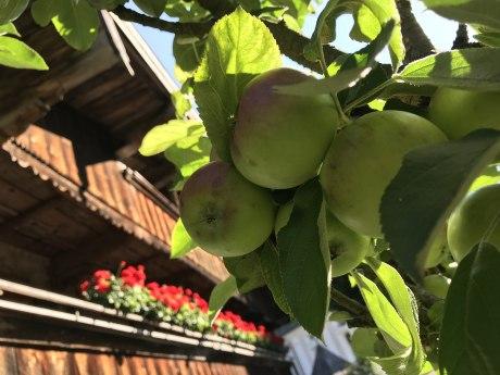 WaldApotheke Themenweg Sachrang - Apfelbaum im Ort, © Tourist Info Aschau im Chiemgau